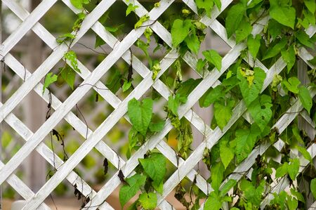wooden trellised fence partially overgrown with greenery close up Banco de Imagens