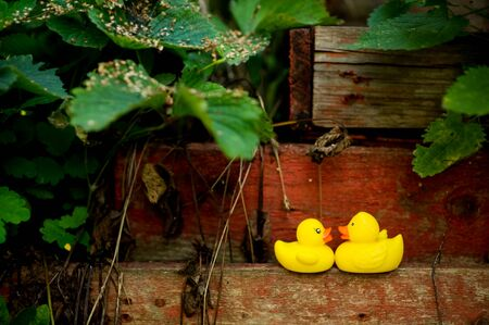 two yellow plastic ducks look at each other, standing on an old wooden structure in the garden in soft light and soft focus