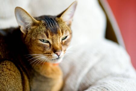 Abyssinian cat squinting at the camera. Close up Imagens