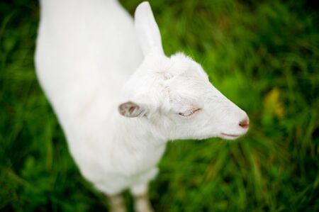 white young goat close-up on a background of blurred green meadow