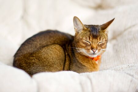 Abyssinian cat resting in a soft chair with eyes closed. Close up