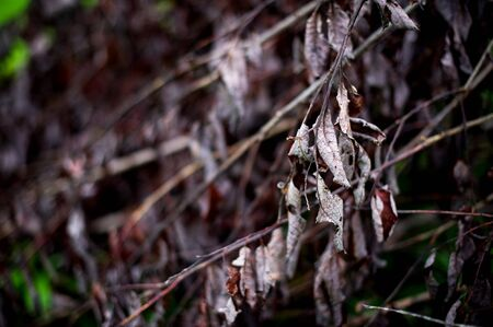 branch with lifeless dried leaves on the background of an array of dry leaves in defocus. toned