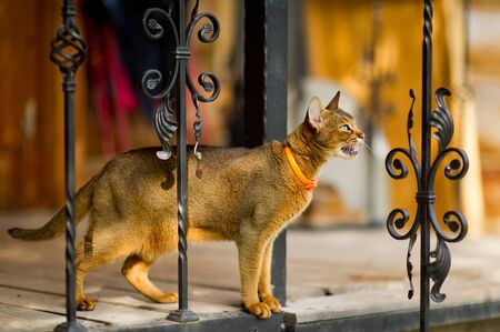 portrait of an abyssinian cat with an orange leash stands on the edge of the balcony
