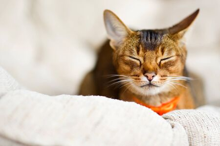 Calm cat. Abyssinian cat resting in a soft chair with eyes closed. Close up Imagens