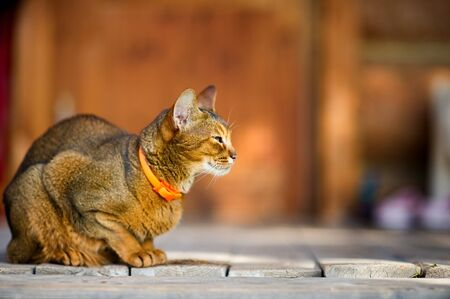 Abyssinian cat calmly sits on a wooden floor and looks away. The cat is resting in a sunny afternoon