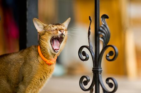 close-up portrait of a yawning abyssinian cat standing near a metal fence