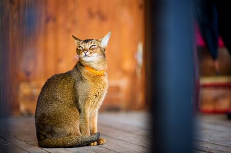 abyssinian cat quietly sits on a wooden floor and looks out at the street