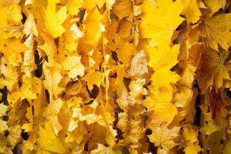 curtain of natural autumn leaves, texture, close up Archivio Fotografico