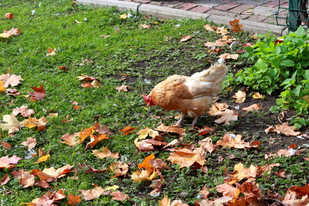 Hen on the lawn in the city. Autumn