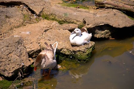 Ducks on the river bank