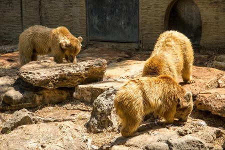 Brown Bears eating fish Stock Photo