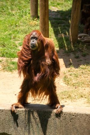 Orangutan standind and watching for food