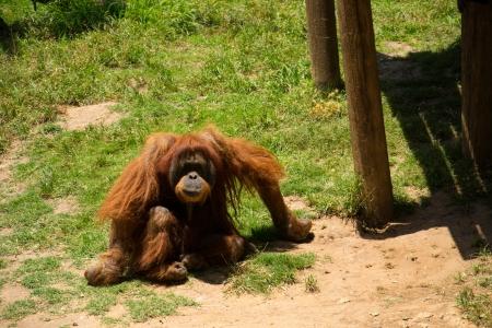 Orangutan relaxing and watching.