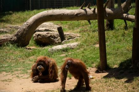 Orangutans watching for food Stock Photo