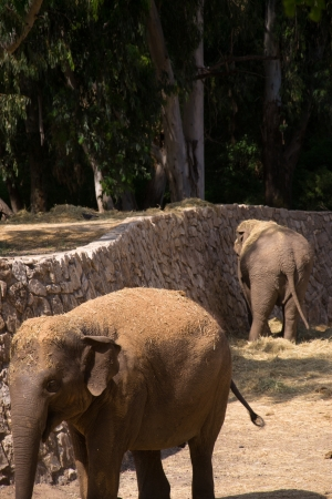 Elephants eating hay in a zoo Stock Photo