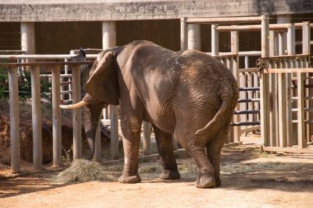 Elephant eating hay in a zoo