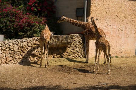 A giraffe family out for a morning  eat