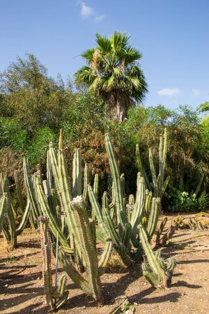 Large group of green cactus in the park