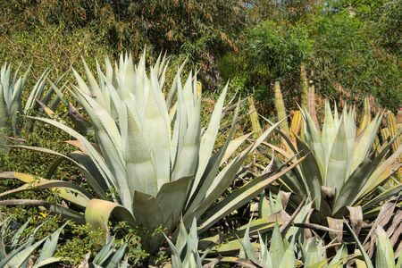 Large group of cactus in the park