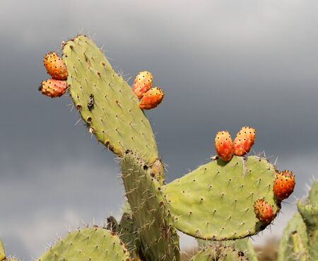 Fruits of prickly pear (tzabar) cactus (opuntia ficus indica) Stock Photo