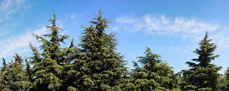 Treetops of fir-trees on cloudy sky background on bright summer day Stock Photo