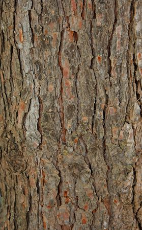 Pinetree bark texture photo