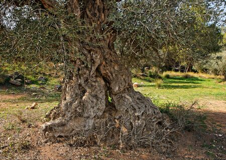 Gnarled, split and twisted trunk of olive tree outdoors photo