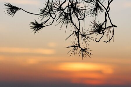 Pinetree branches silhouette on sunset background  photo