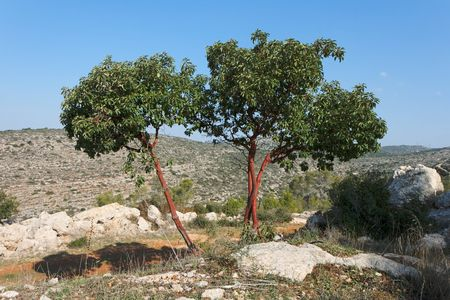 Arbutus tree on the hill