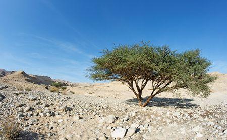 Acacia tree in the desert near Dead Sea, Israel Stock Photo