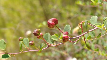 Caper (Capparis spinosa) buds on the branch