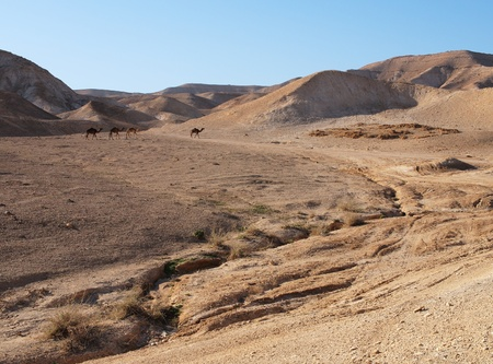 Desert landscape near the Dead Sea with herd of camels photo