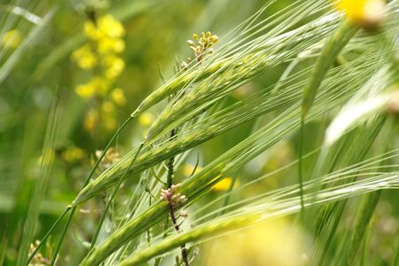 Wild-growing cereals on green meadow in spring close-up  photo