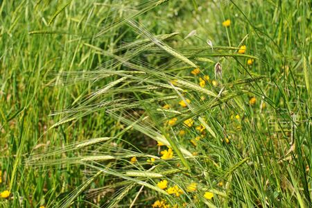 Wild-growing cereals on green meadow in spring photo