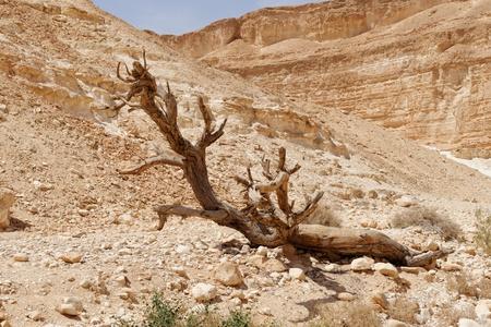 aravah: Dry tree in the desert