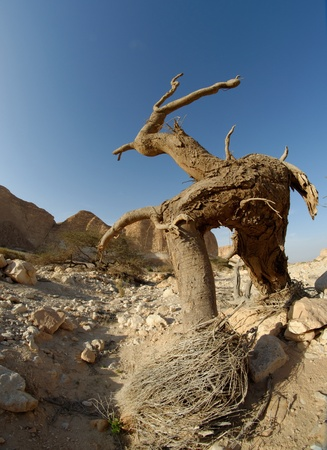 aravah: Dry tree in the desert in the shape of a walking man with horns