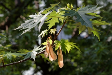 acer platanoides: Spring branch of a maple tree with several samaras hanging down