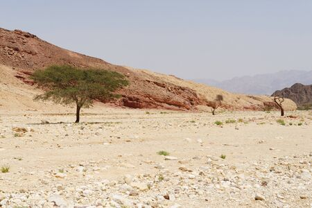 Row of acacia trees in the desert canyon near Eilat, Israel photo