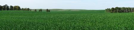 green meadows: Panorama of green meadows in spring