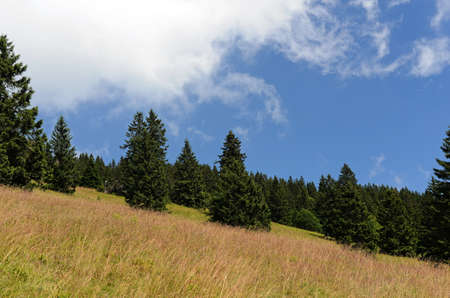 Spruces on hillside on cloudy sky background on bright summer day