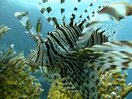 lion fish and corral in the Red Sea Stock Photo