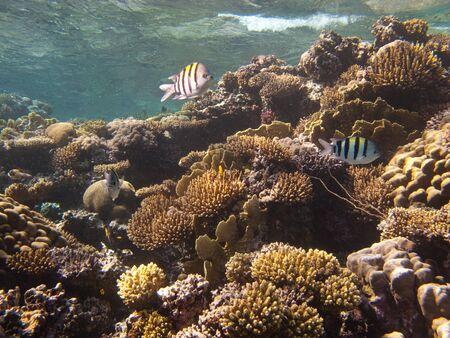 dahab: Underwater inhabitants coral reef in the Red Sea near Dahab