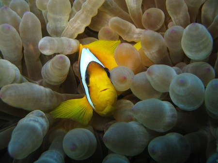 anemone and anemone fish is in the Red Sea photo