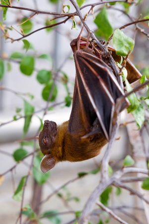 fruit bat: The Lesser short-nosed fruit bat (Cynopterus brachyotis). In the leaves during the daylight