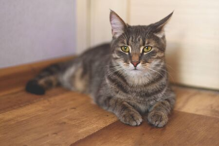 A serious grey tabby cat laying on the wooden floor.