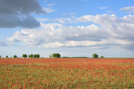Very beautiful landscape of poppy field with cloudy blue sky. Selective focus. Background for your projects.