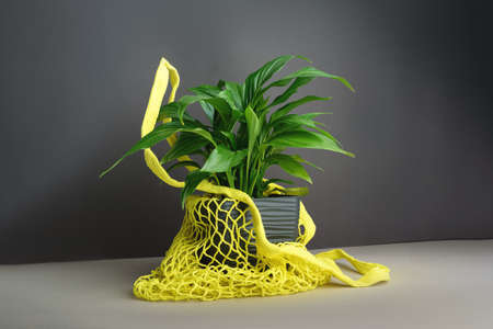 A cute pot with home flower Spathiphyllum in yellow shopping net bag on the grey background. Female happiness, home garden, hobby, zero waste concept. Фото со стока