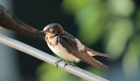 black white red: Swallow Stock Photo