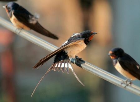 swallow: Swallow Stock Photo