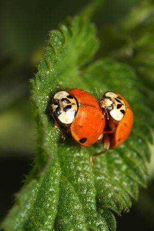 chitin: Ladybird reproduction in the nature on plant sheet (macro) Stock Photo